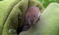 A shrew being tamed?